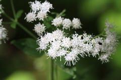 White Snakeroot Flower Stock Photos