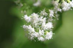 White Snakeroot Flower Royalty Free Stock Image