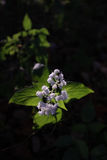 White Snakeroot Sunset Light Stock Image