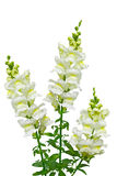 White Snapdragon Stock Images