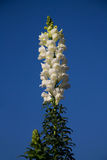 White Snapdragon Stock Image