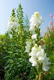 White Snapdragon flowers under blue sky Royalty Free Stock Image