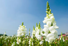 White Snapdragon flowers under blue sky Stock Image