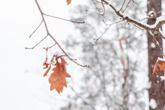 White snow background with red leaf Stock Photography