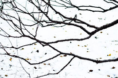 White snow &  bare branches Royalty Free Stock Image