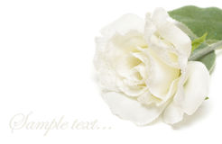 White snow-bound rose Royalty Free Stock Photography