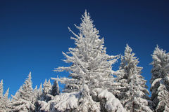 White Snow-Covered Fir Trees Stock Image