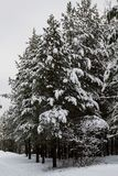 White snow covered trees in the winter forest. White snow covered pine trees in the winter forest Royalty Free Stock Image