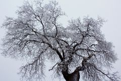 White snow covering the oak tree