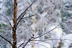 Snowy winter in lapland finland, snow coveres all thetrees and branches. White snow covers trees and branches in the cold winter of lapland finland royalty free stock image