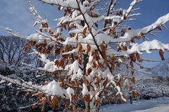 White snow on dry brown leafs Royalty Free Stock Photo