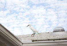 White snow egret Royalty Free Stock Images