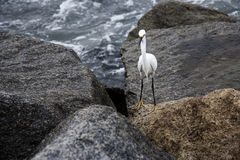white snow egret on the rocks by the ocean Royalty Free Stock Photo