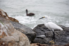 white snow egret on the rocks by the ocean Stock Photography