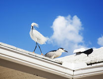 white snow egret sits on the roof Royalty Free Stock Image