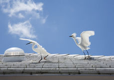 White snow egrets fight on the roof Royalty Free Stock Images