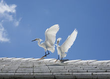 White snow egrets fight on the roof Stock Photo