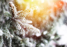 White snow on fir branch in winter park Royalty Free Stock Photo