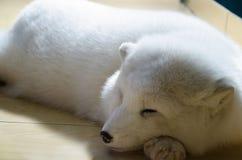 White snow fox Royalty Free Stock Photography