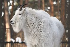 White snow goat with horns. Snow goat with pure white long hair, sharp horns close-up. Novosibirsk zoo - attraction of the capital of Siberia, Russia, 2019 stock image