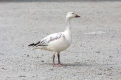 White snow goose. At burnaby lake park , Vancouver BC Canada stock image
