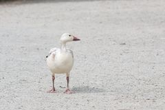 White snow goose. At burnaby lake park , Vancouver BC Canada stock photography