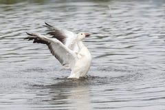 White snow goose Stock Photography