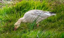 Lustrous Snow Goose stock photo