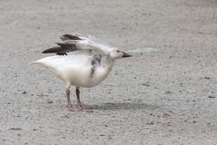 White snow goose. At burnaby lake park , Vancouver BC Canada royalty free stock photography