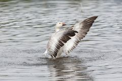 White snow goose. At burnaby lake park , Vancouver BC Canada stock images