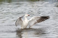 White snow goose. At burnaby lake park , Vancouver BC Canada stock photo