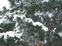White snow on a green pine tree. Winter white snow on a green pine branches Royalty Free Stock Images