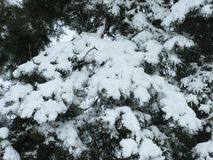 White snow on a green pine tree. Winter white snow on a green pine branches Royalty Free Stock Photography