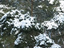White snow on a green pine tree. Winter white snow on a green pine branches Stock Photos