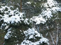 White snow on a green pine tree. Winter white snow on a green pine branches Stock Images