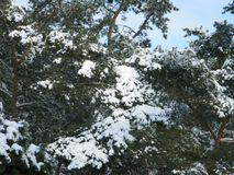 White snow on a green pine tree. Winter white snow on a green pine branches Stock Image