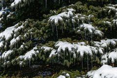 White Snow and Icicles on Spruce Tree stock image