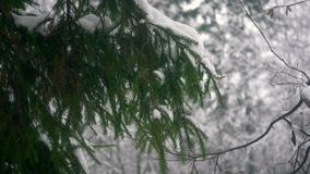White snow lies on the branches of the fir. White snow lies on the branches of spruce on the background of the winter forest stock video