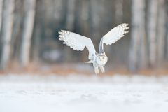 White snow owl fly. Beautiful fly of snowy owl. Snowy owl, Nyctea scandiaca, rare bird flying on the sky. Winter action scene with royalty free stock photography