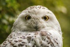 White snow owl Royalty Free Stock Image