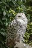 White snow owl Stock Images