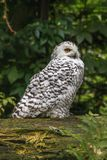 White snow owl Royalty Free Stock Images