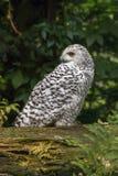 White snow owl Royalty Free Stock Photo