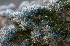 White Snow on Pine. A Winter Decoration with Pine Royalty Free Stock Photo