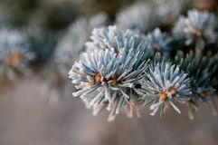 White Snow on Pine. A Winter Decoration with Pine Royalty Free Stock Image