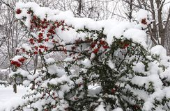 White snow on red berry Royalty Free Stock Photography
