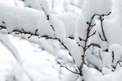 White snow on the tree branch Royalty Free Stock Image