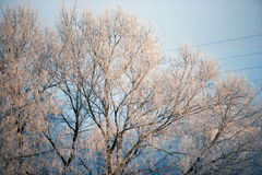 White snow on the trees in the forest. Royalty Free Stock Photos