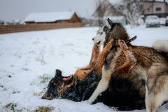 Cute Siberian husky and german shepherd playing outdoors, in the snow stock images