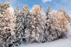 White snow winter trees Royalty Free Stock Photography